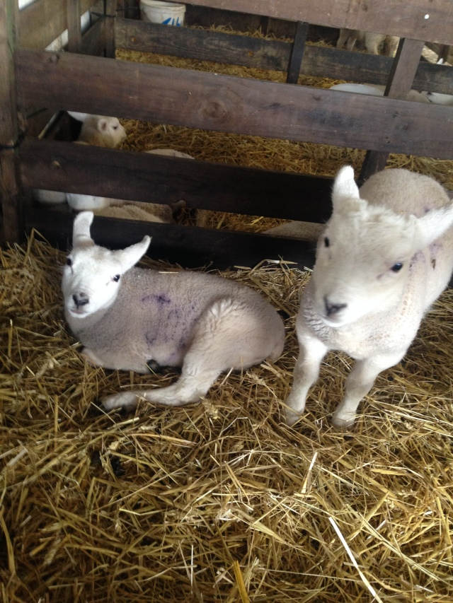 whitehouse farm lambs