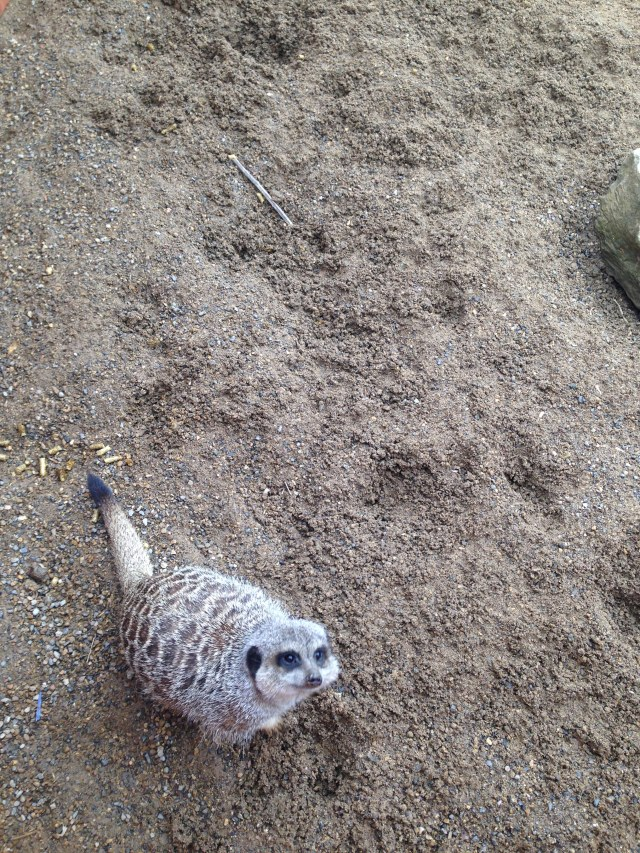 whitehouse farm meerkat